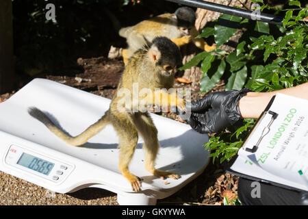 London, UK. 24 August 2016. Squirrel Monkeys (Saimiri sciureus). Zookeepers record animals vital statistics at the - Stock Photo