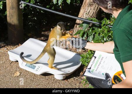 London, UK. 24 August 2016. Squirrel Monkey (Saimiri sciureus). Zookeepers record animals vital statistics at the - Stock Photo