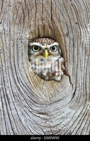 Little owl looking through a knot hole at The Barn Owl Centre of Gloucestershire - Stock Photo