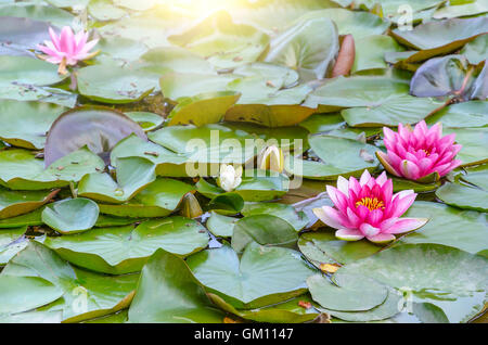 Beautiful water lilies on a background of leaves. - Stock Photo