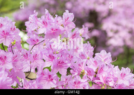 Beautiful pink Rhododendron degronianum flowers blossom in spring. - Stock Photo