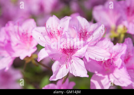 Close-up of beautiful pink Rhododendron degronianum flowers blossom in spring. - Stock Photo