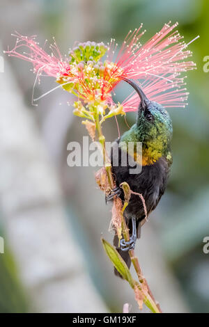 sunbird, bird, colorful, wildlife, background, animal, beautiful, nectar, nature, male, color, birdwatching, flower, - Stock Photo