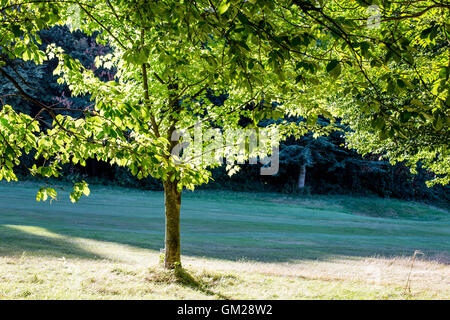 Sunlight Shining Through the Leaves of a Young Tree - Stock Photo