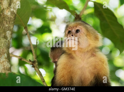 White faced capuchin monkey ( Cebus capucinus ),  Manuel Antonio National Park, Costa Rica, Central America - Stock Photo
