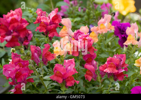 Antirrhinum majus. Snapdragons growing in the border. - Stock Photo