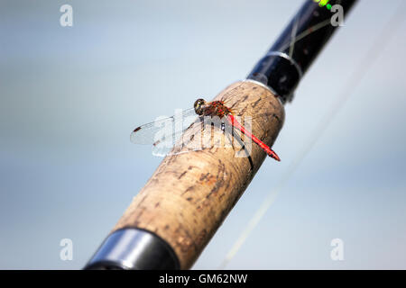 Belgrade, Serbia - Scarlet Dragonfly (Crocothemis erythraea) perched on a fishing rod grip - Stock Photo