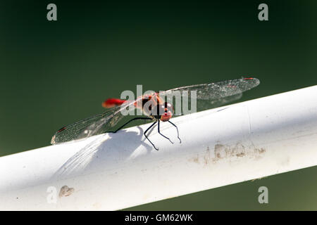 Belgrade, Serbia - Scarlet Dragonfly (Crocothemis erythraea) perched on a fishing boat fence - Stock Photo