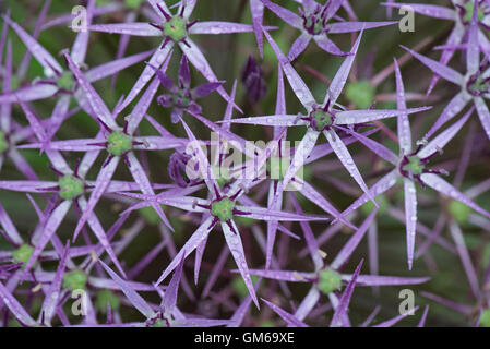 Flower head florets on a Star of Persia, Allium christophii, with rain water drops after a summer shower - Stock Photo