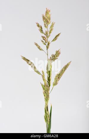 Yorkshire fog, Holcus lanatus, flowering grass spike , June - Stock Photo