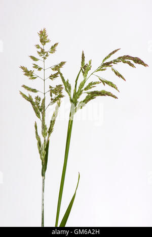 Yorkshire fog, Holcus lanatus, flowering spikes , June - Stock Photo