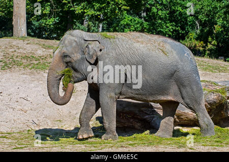 Asian elephant / Asiatic elephant (Elephas maximus) eating grass during feeding time in zoo - Stock Photo
