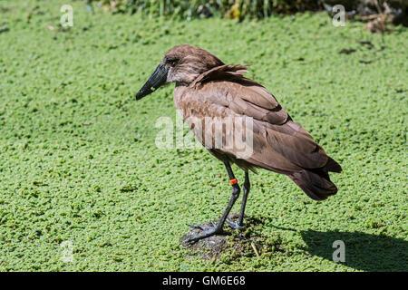 Ringed hammerhead stork / hamerkop / hammerkop (Scopus umbretta) in swamp - Stock Photo
