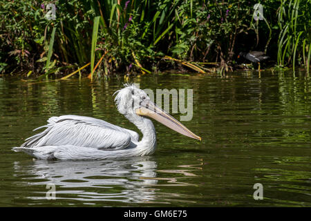 Dalmatian pelican (Pelecanus crispus) swimming in lake, native to Europe and Asia - Stock Photo