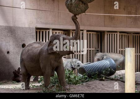 Asian elephant / Asiatic elephants (Elephas maximus) eating hay in indoor enclosure in the Planckendael Zoo, Belgium - Stock Photo