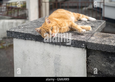 A ginger tom cat laying on a warm concrete slab late afternoon 24th August 2016 - Stock Photo