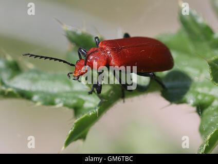 European Red-headed cardinal beetle (Pyrochroa serraticornis) - Stock Photo