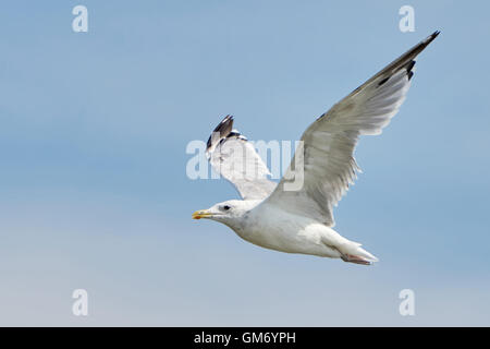 White seagull in flight against a blue sky - Stock Photo