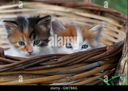 Two kittens sitting in a basket outdoors and looking at camera - Stock Photo