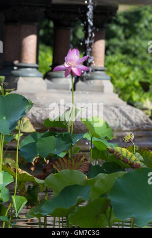 Pink lotus flower in Central Park New York with water fountain in the background - Stock Photo