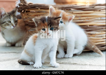 Two four weeks old kittens sitting outdoors with their mother watching them in the background - Stock Photo