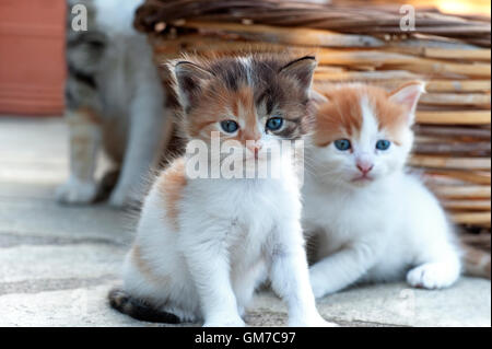 Two four weeks old kittens with their mother in the background - Stock Photo