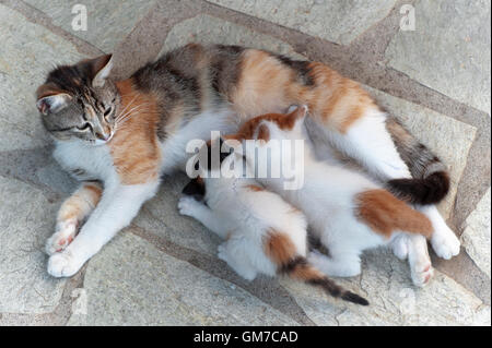 Calico cat feeding two four weeks old kittens outdoors - Stock Photo