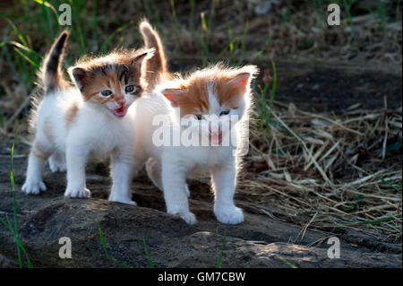 Two four weeks old crying kittens outdoors - Stock Photo