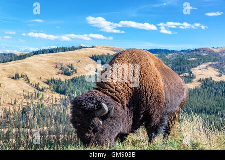 Closeup view of an American bison with a beautiful landscape in the background in Yellowstone National Park - Stock Photo