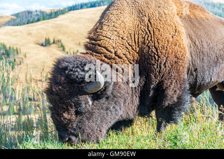 Closeup view of an American bison in Yellowstone National Park - Stock Photo