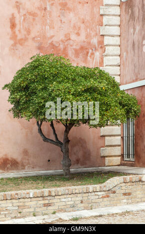 An olive tree in The Paleo Frourio (Old Fort) Corfu Town, Corfu, Greece - Stock Photo