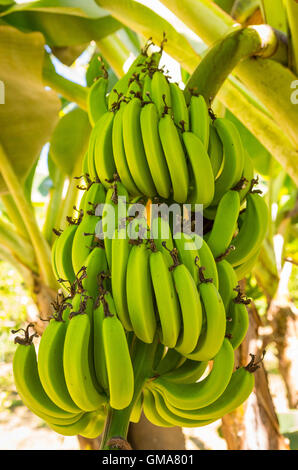 CABARETE, DOMINICAN REPUBLIC - Bunch of bananas growing on banana tree. - Stock Photo