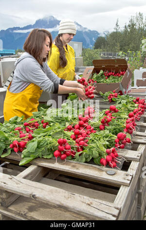 Workers washing, bundling  harvested radishes in preparation for farmers market. - Stock Photo