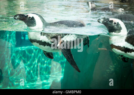 African penguins, in captivity, swimming at the Vancouver Aquarium in Vancouver, British Columbia, Canada. - Stock Photo