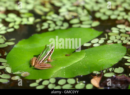 frog on water lily in a pond - Stock Photo