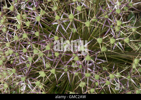 Flower head florets on a Star of Persia, Allium christophii, withdeveloping seeds and green ovaries - Stock Photo