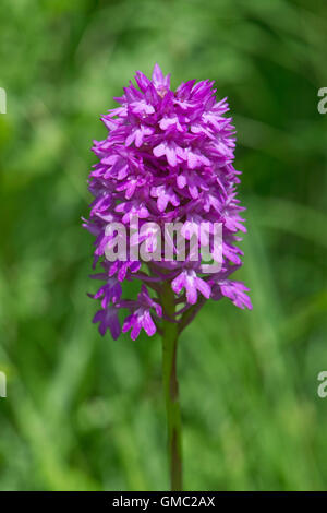 A pyramidal orchid, Anacamptis pyramidalis, with typical pyramid shaped flower head, June - Stock Photo