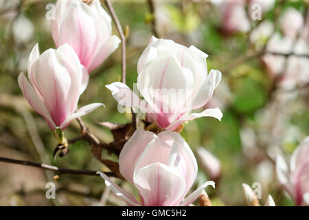 charming magnolia buds bursting with vitality - joy of life Jane Ann Butler Photography JABP1600 - Stock Photo