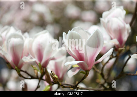charming magnolia buds bursting with vitality - joy of life Jane Ann Butler Photography JABP1601 - Stock Photo