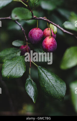 Fresh purple plums on plum tree in the garden. Toned image, selective focus - Stock Photo