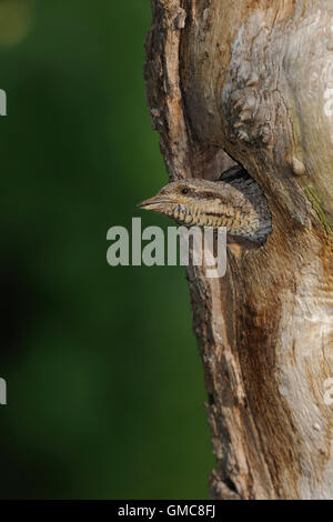 Eurasian Wryneck / Wendehals ( Jynx torquilla ) looking out of his nesting hole in an old tree trunk. - Stock Photo