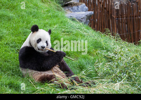 Panda sits on the ground and eats bamboo in a Zoo - Stock Photo