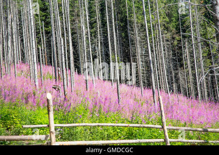 Beautiful beech trees forest with purple wild flowers landscape - Stock Photo
