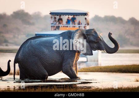 Tourist watching an elephant crossing a river in the Chobe National Park in Botswana, Africa;