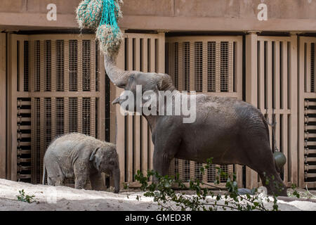 Asian elephant (Elephas maximus) with baby feeding on hay in indoor enclosure in the Planckendael Zoo, Belgium - Stock Photo