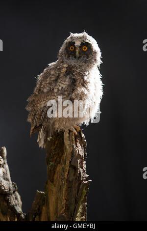 Waldohreule, Ästling, Küken, Jungtier, Jungeule, Waldohr-Eule, Asio otus, long-eared owl, brancher, branchling, fledgling, poult Stock Photo