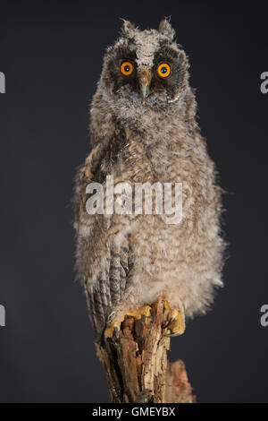 Waldohreule, Ästling, Küken, Jungtier, Jungeule, Waldohr-Eule, Asio otus, long-eared owl, brancher, branchling, - Stock Photo