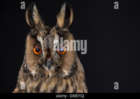 Waldohreule, Nickhaut am Auge, Waldohr-Eule, Asio otus, long-eared owl, Le Hibou moyen-duc Stock Photo