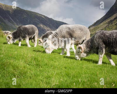 Herdwick tups, Buttermere, English Lake District national park, England, Uk - Stock Photo