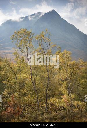 Birch trees in front of Sron na Creise, Stob a' Ghlais Choire, Glen Etive, autumn, Scottish Highlands, Scotland - Stock Photo